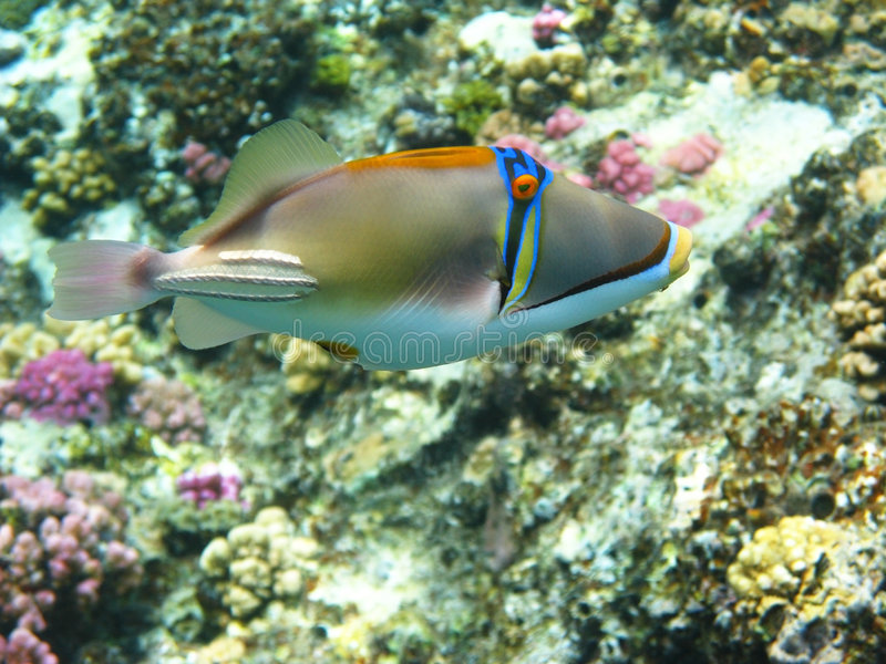 Picasso-Triggerfische stockfotos