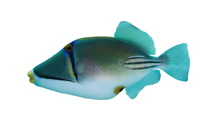 Picasso triggerfish arkivbild