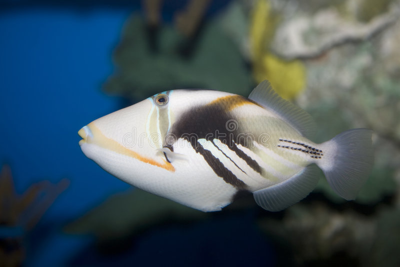 picasso triggerfish royaltyfri bild