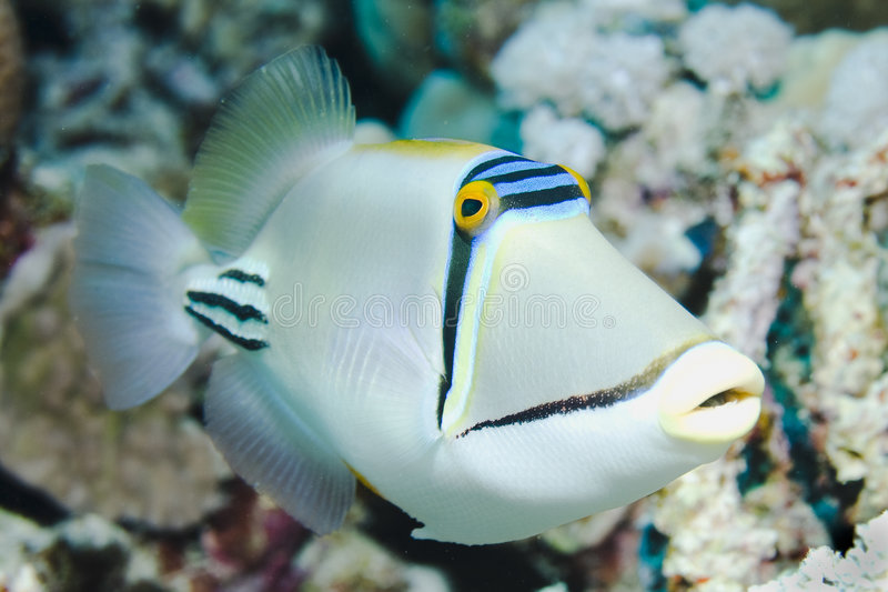 Picasso Triggerfish royalty-vrije stock foto
