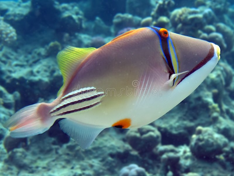 picasso triggerfish obrazy stock