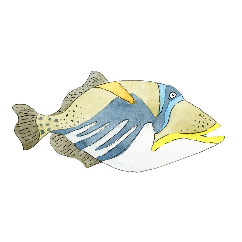 Free Picasso Triggerfish Fish On White Background Stock Images - 144339364