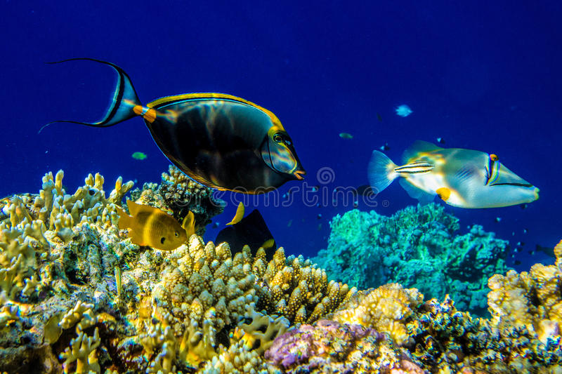 Picasso triggerfish royalty free stock images