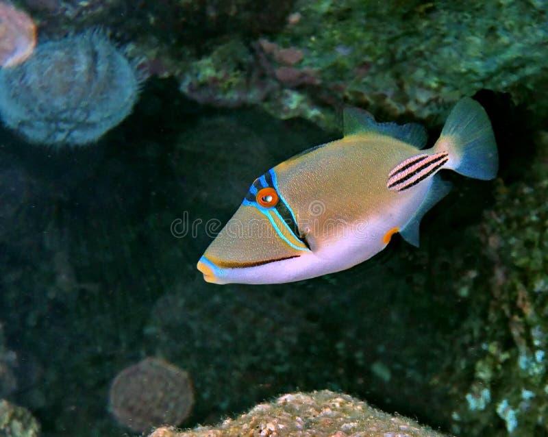 Picasso triggerfish, rafa koralowa blisko Eilat, Izrael obraz royalty free