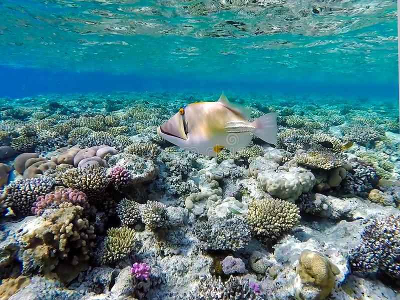 Picasso triggerfish Rhinecanthus aculeatus in clear waters in the Red Sea stock photos