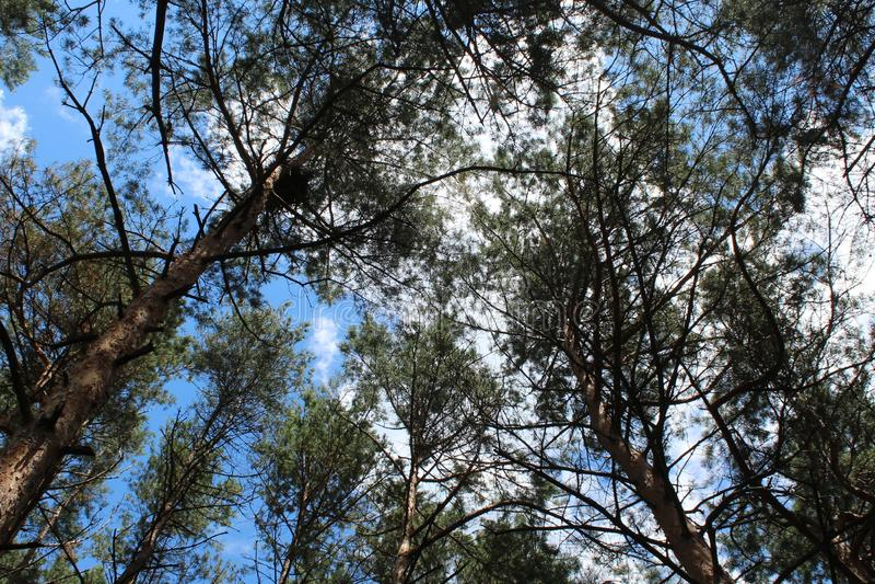 Picchi dei pini sul cielo del fondo immagini stock
