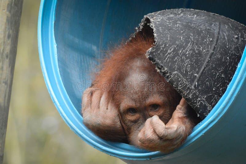 Picchi timidi dell'orangutan fuori dal nascondiglio fotografia stock libera da diritti