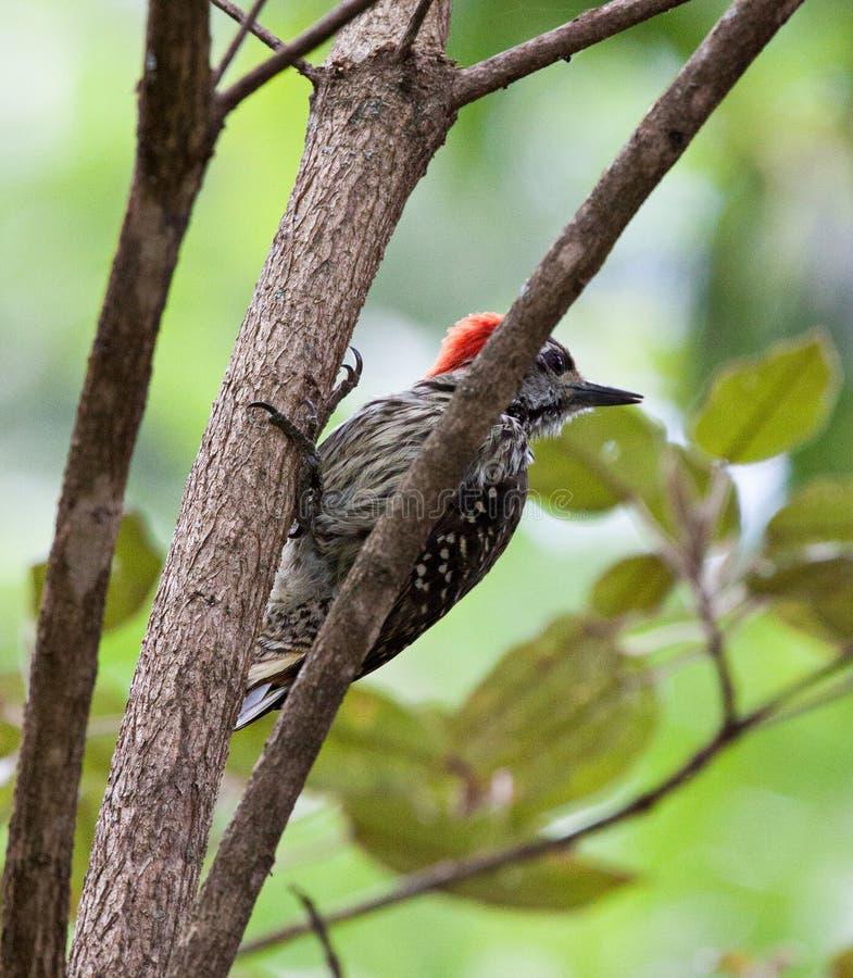 Picchio cardinale sul tronco di albero fotografia stock