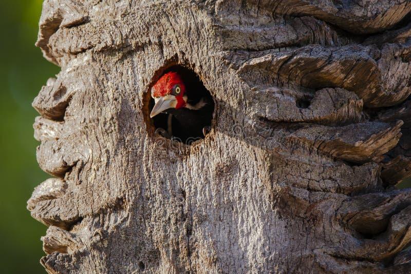 Picchio Cremisi-crestato maschio che dà una occhiata dal nido dell'albero immagini stock libere da diritti