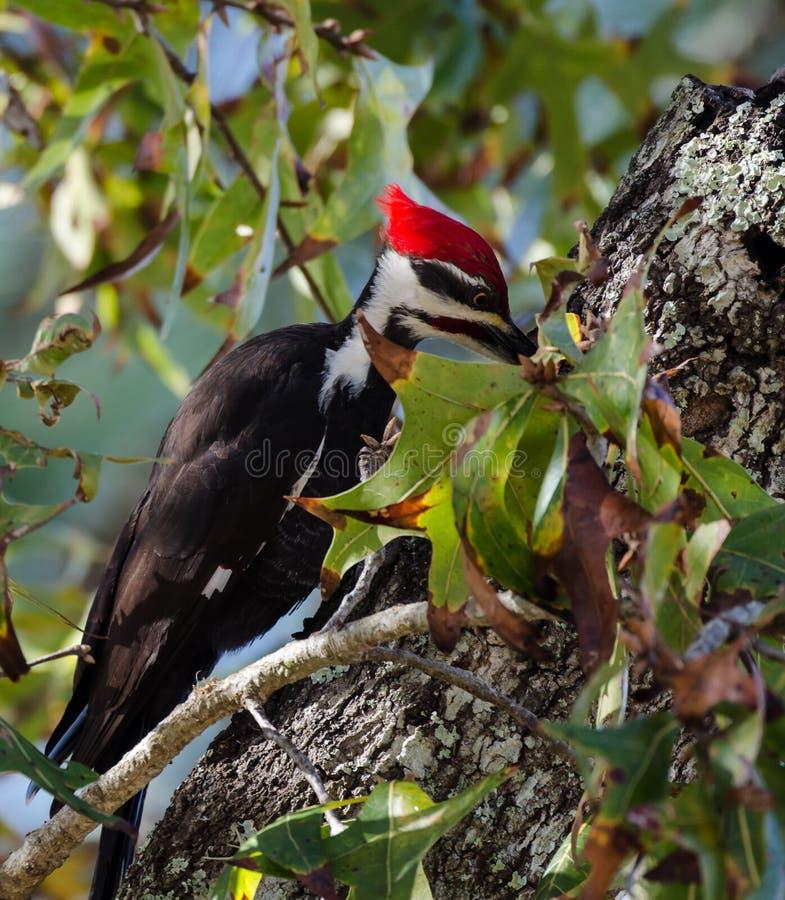 Picchio di Pileated con il becco in suo foro nell'albero fotografie stock libere da diritti