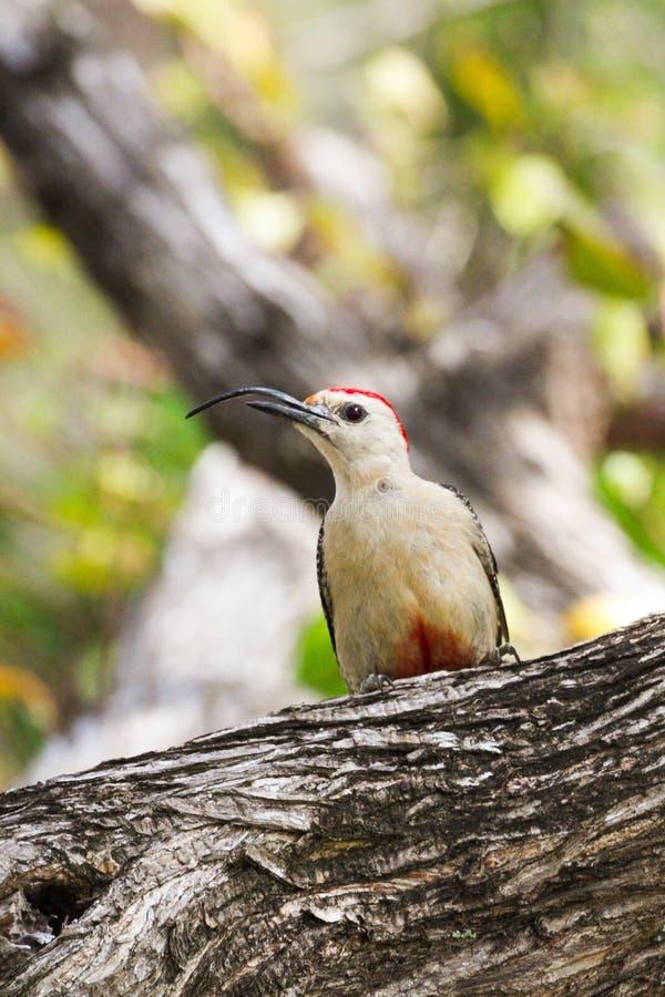Picchio di Yucatan con il becco curvo in albero immagini stock