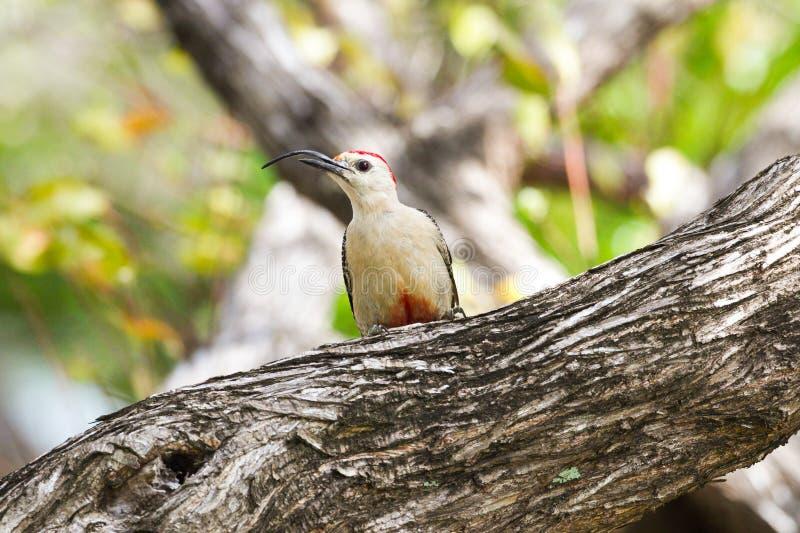 Picchio di Yucatan con il becco curvo in albero fotografia stock