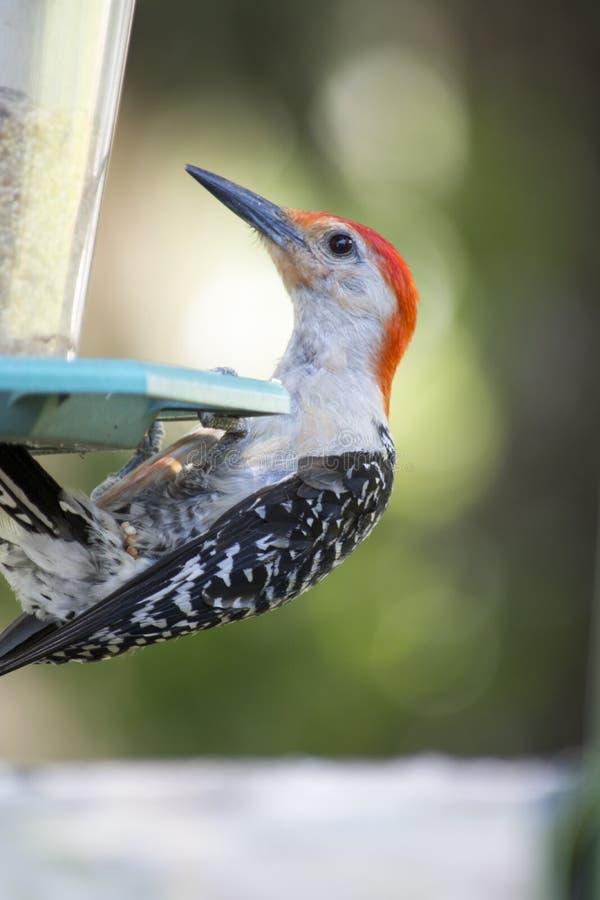 Picchio gonfiato rosso sull'alimentatore dell'uccello fotografie stock