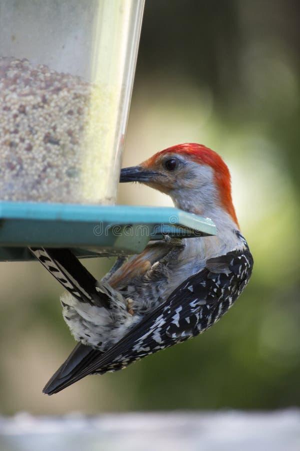 Picchio gonfiato rosso sull'alimentatore dell'uccello immagini stock