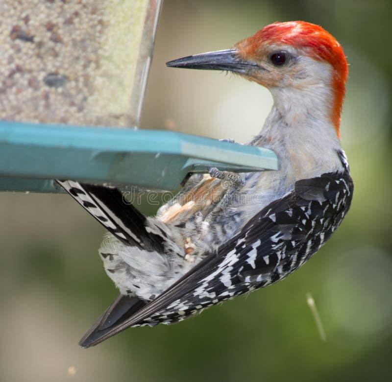 Picchio gonfiato rosso sull'alimentatore dell'uccello fotografia stock libera da diritti