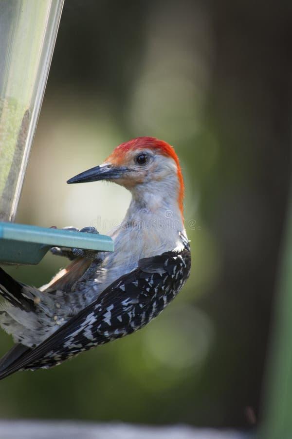 Picchio gonfiato rosso sull'alimentatore dell'uccello immagini stock libere da diritti