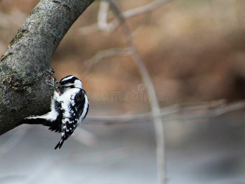 Picchio lanuginoso con il becco dentro il foro dell'albero fotografia stock libera da diritti