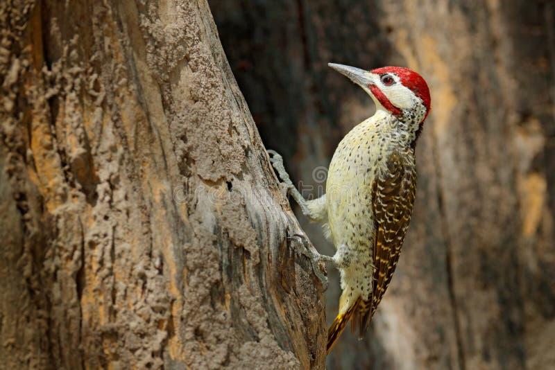 picchio Macchiolina-throated, scriptoricauda di Campethera, sul tronco di albero, habitat della natura Fauna selvatica Botswana,  immagini stock libere da diritti