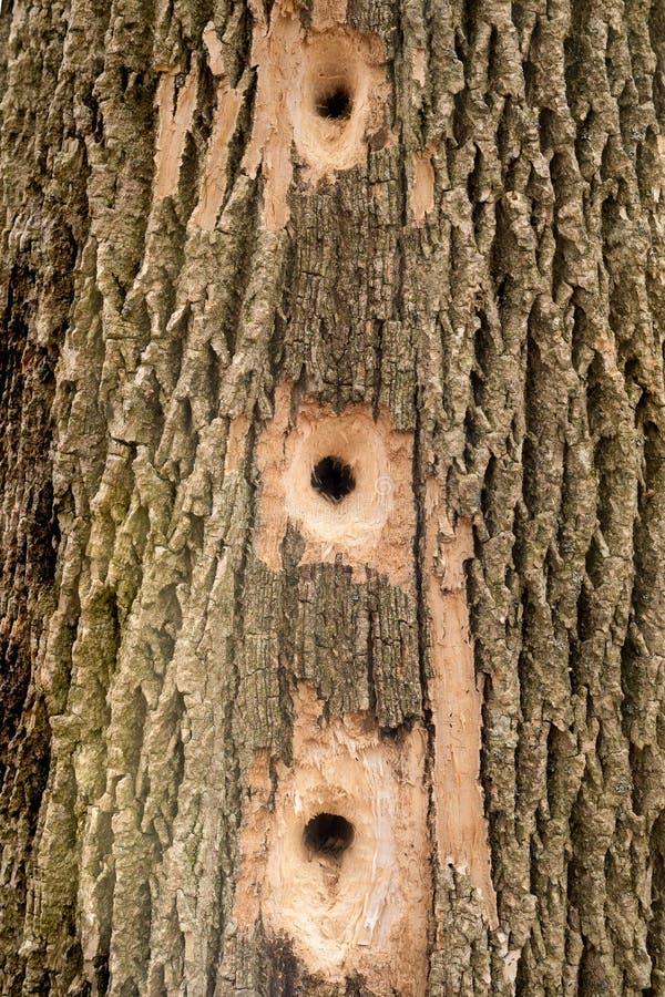 Download Picchio Occupato - Fori Dell'albero Fotografia Stock - Immagine di albero, closeup: 30827048