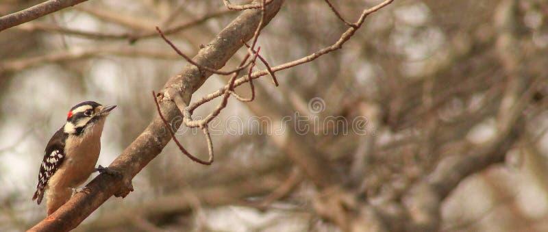 Picchio-ramo rosso--cockaded maschio immagini stock