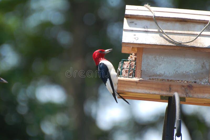Picchio Red-headed 13 fotografia stock
