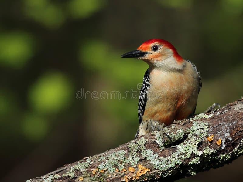 Picchio Rosso-gonfiato maschio immagini stock