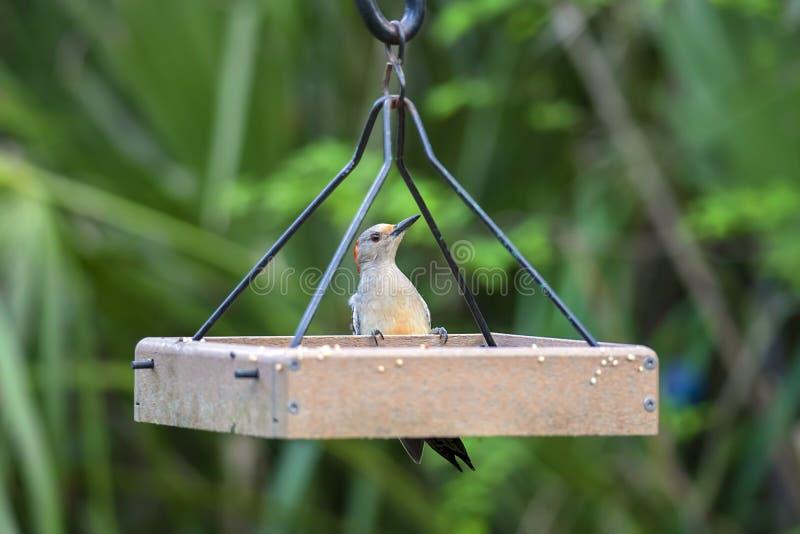 picchio Rosso-gonfiato su un alimentatore dell'uccello fotografia stock
