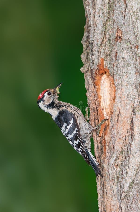 Picchio rosso minore con il verme fuori del suo nido fotografie stock