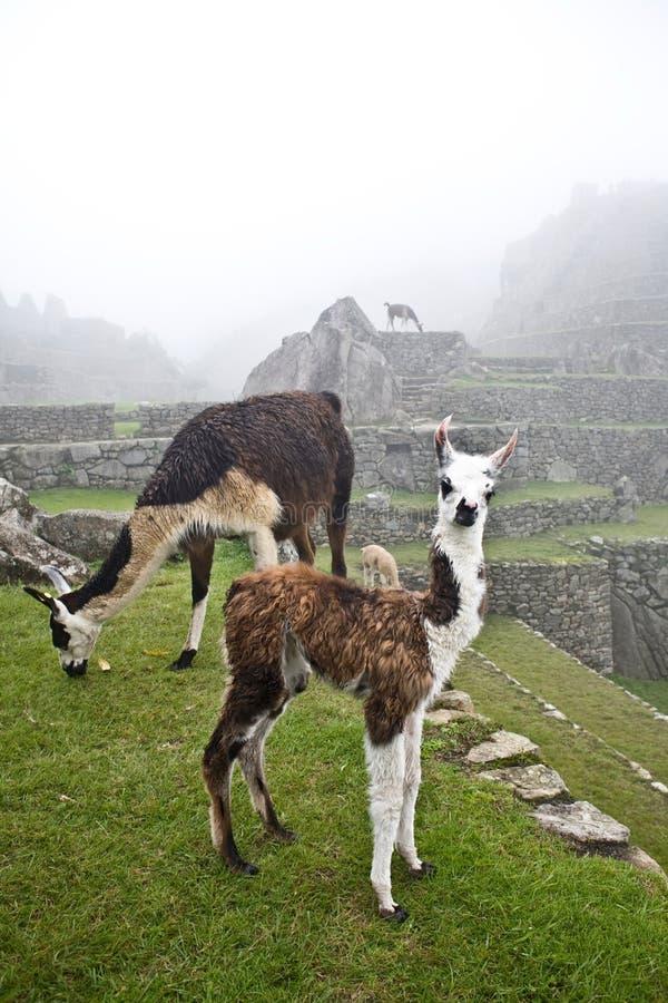 picchu machu llamas стоковая фотография
