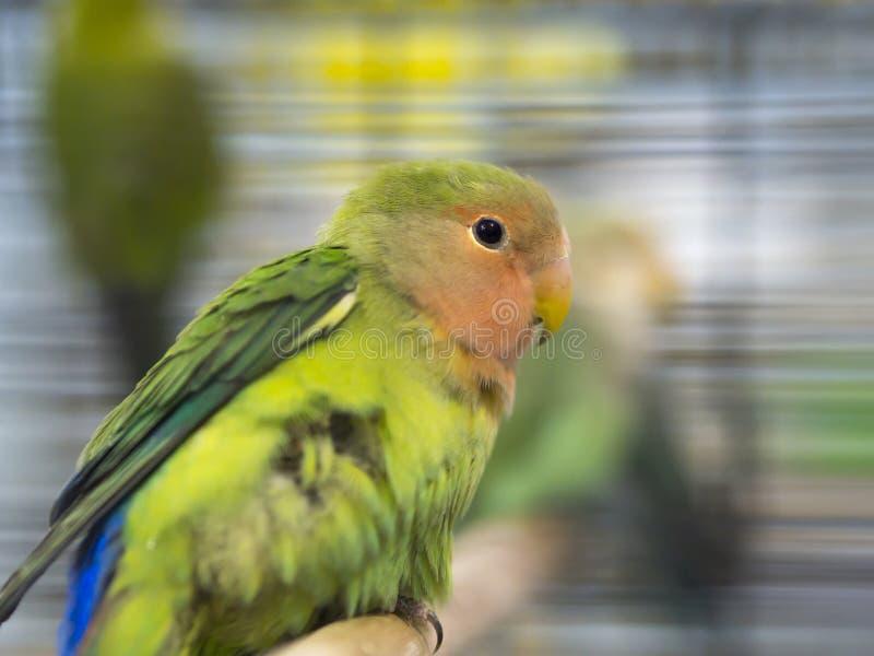Piccioncini colorati verde del primo piano che stanno nella gabbia fotografia stock libera da diritti