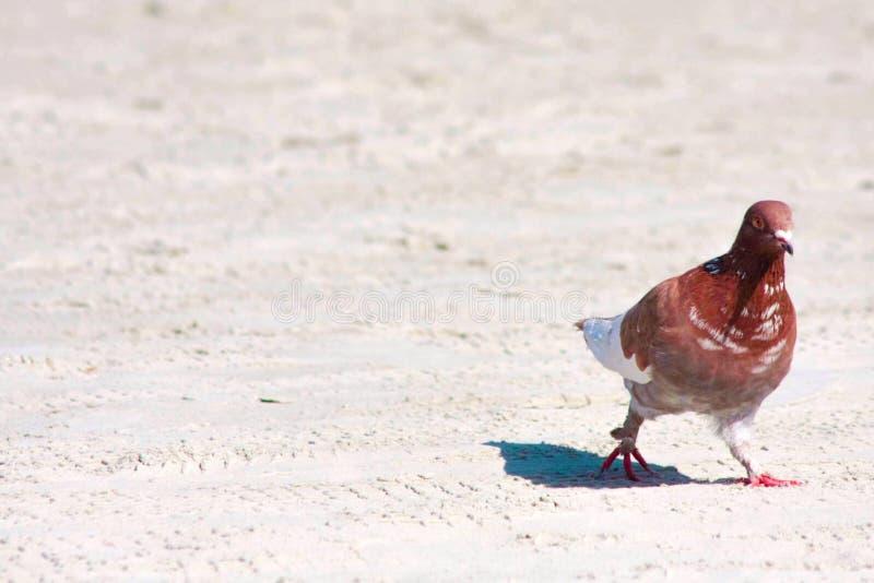 Piccione alla spiaggia fotografia stock libera da diritti