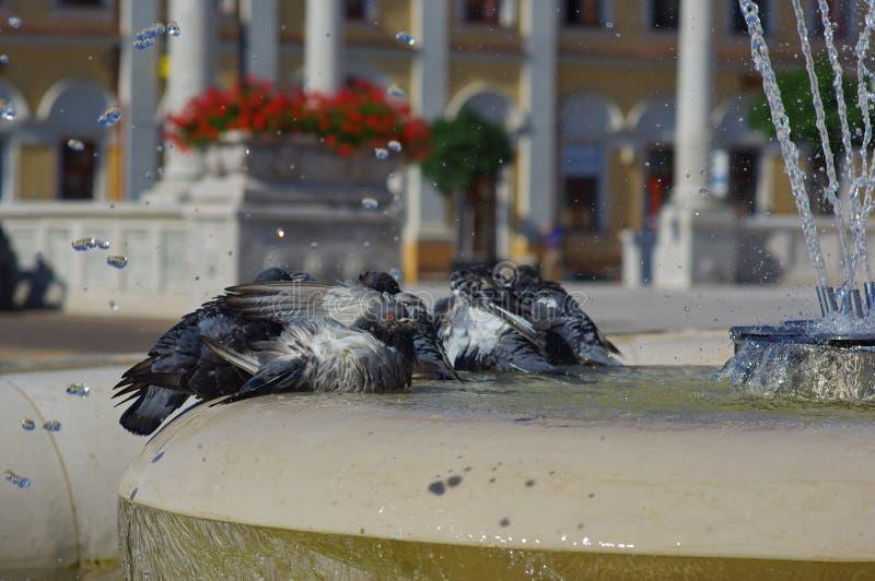 Piccione che gioca acqua nella fontana fotografia stock libera da diritti