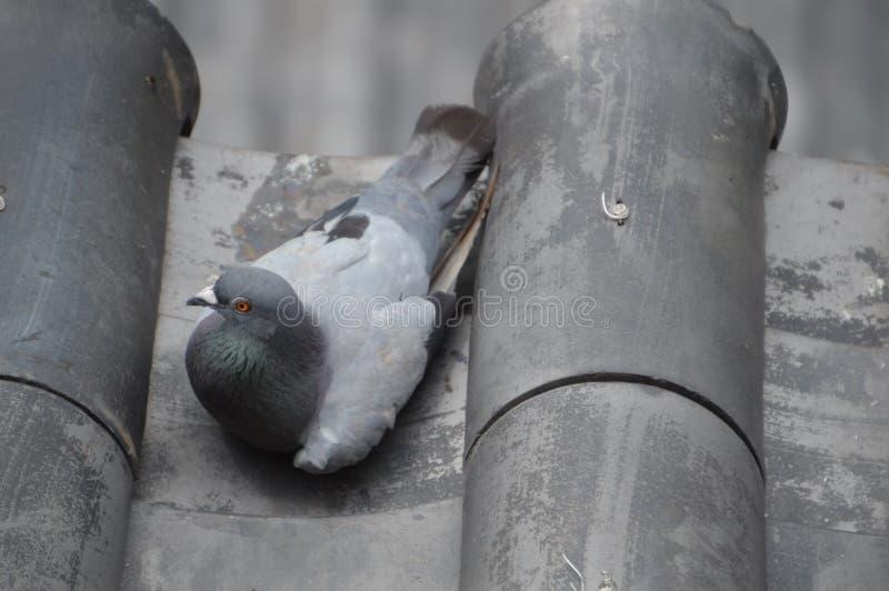 Piccione che si siede sulle mattonelle di tetto giapponesi del castello fotografia stock