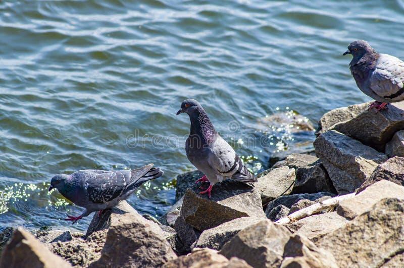 Piccione dell'uccello sulle pietre vicino all'acqua fotografie stock