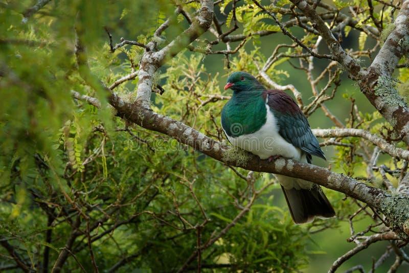 Piccione della Nuova Zelanda - novaeseelandiae di Hemiphaga - kereru che si siede e che si alimenta nell'albero in Nuova Zelanda immagine stock