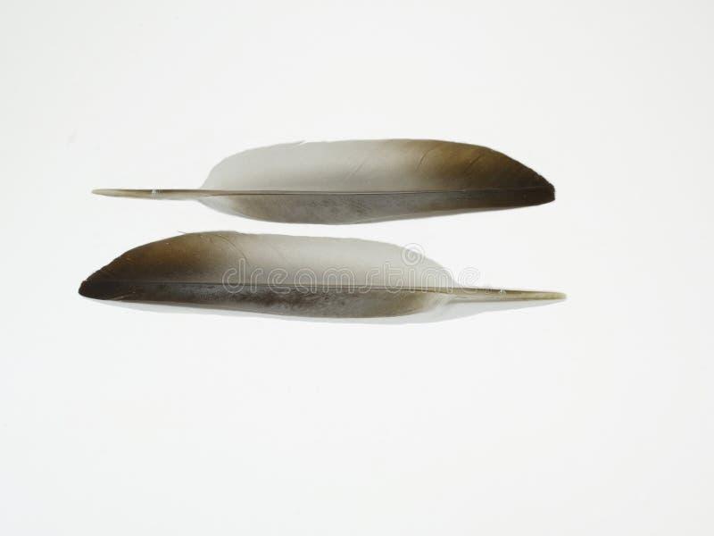 Piccione della piuma su bianco fotografia stock libera da diritti