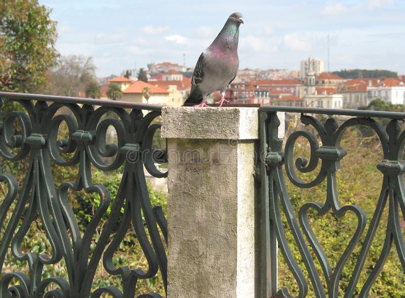 Piccione di Lisbona immagine stock