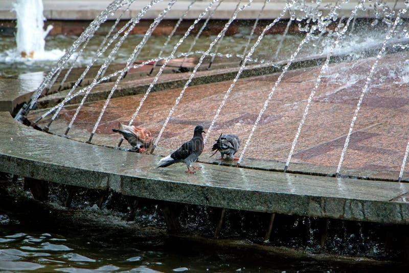 Piccione-fontana fotografia stock