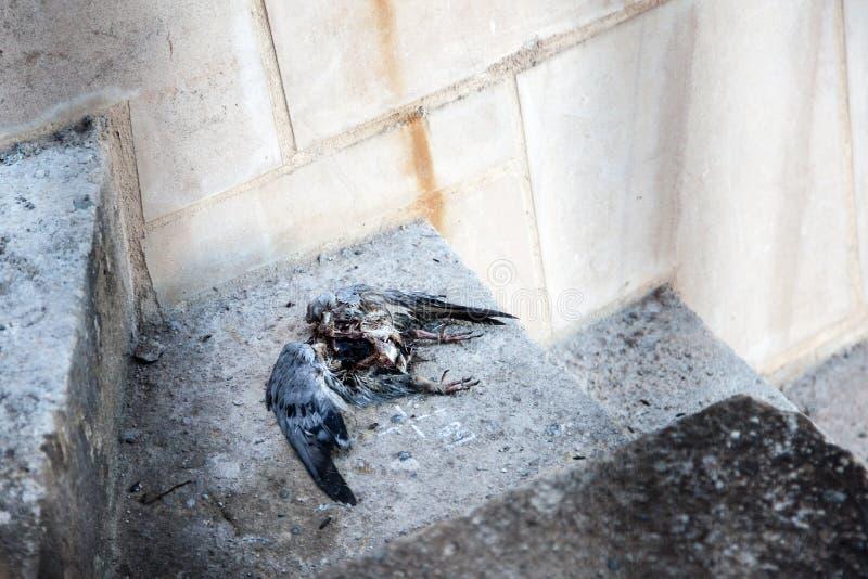 Piccione morto, Sagrada FamÃlia, Barcellona, Spagna immagini stock
