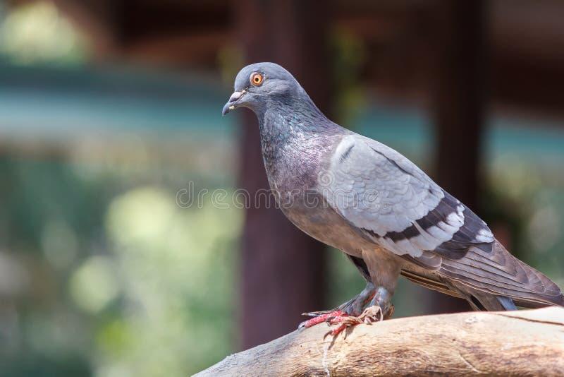 Piccione selvatico, piccione selvatico su un ramo di albero Ritratto del piccione selvatico Uccello su una filiale di albero fotografia stock