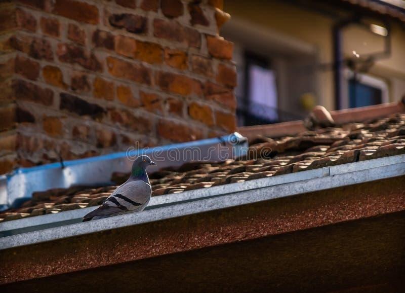 Piccione selvatico su un tetto fotografia stock