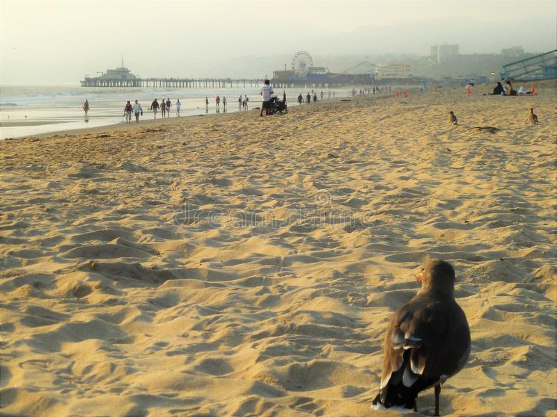 Piccione su una spiaggia del mare immagini stock