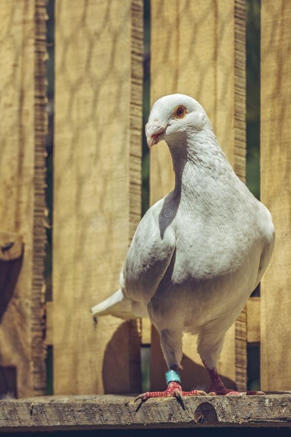 Piccione tedesco bianco di homer di bellezza immagini stock libere da diritti