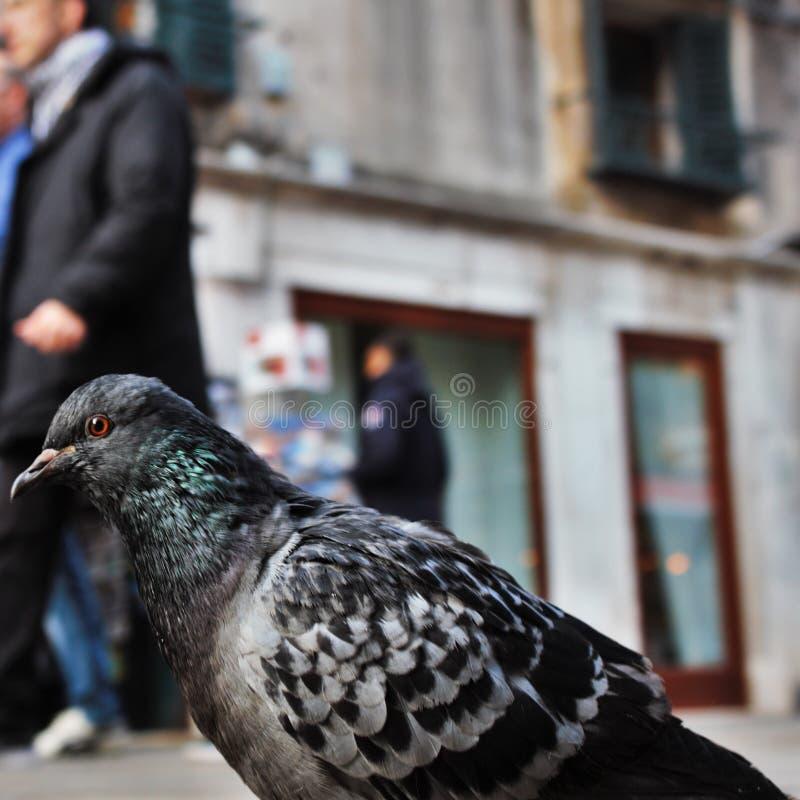 Piccione a Venezia fotografia stock