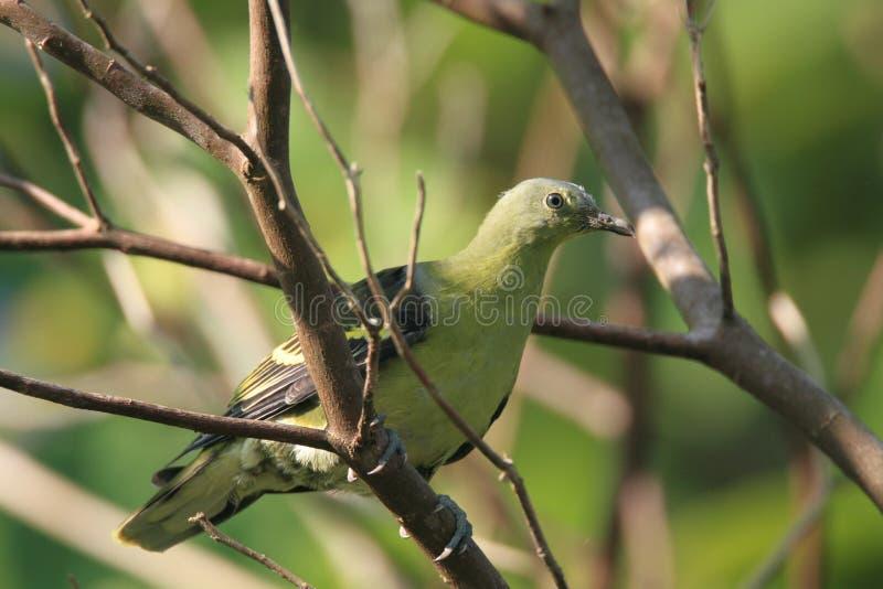 Piccione verde filippino fotografia stock