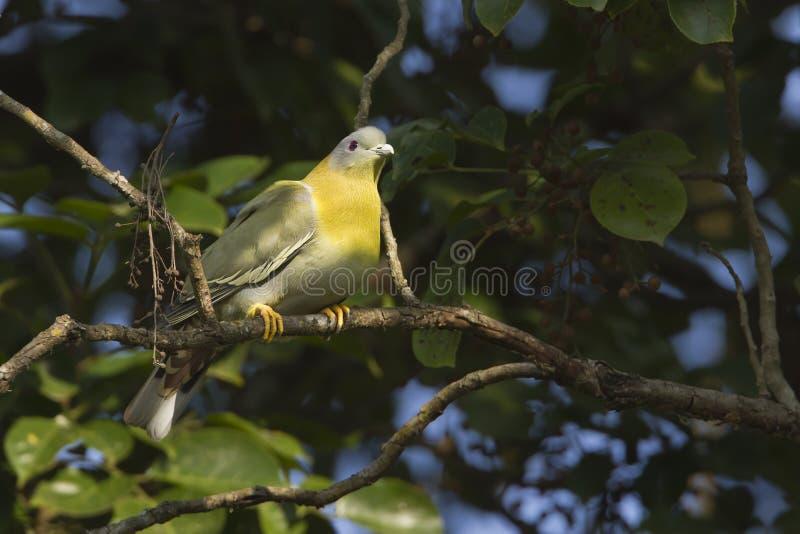 piccione verde Giallo-footed fotografia stock