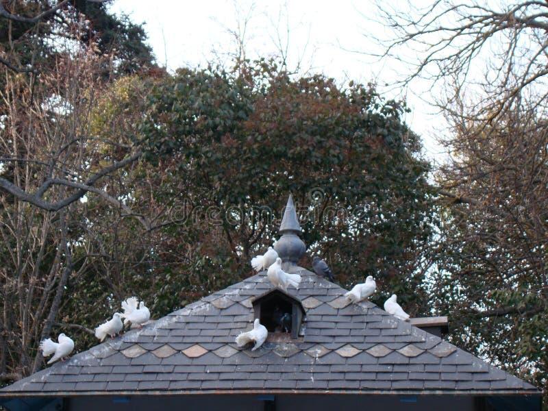 Piccioni bianchi in un tetto fotografia stock libera da diritti