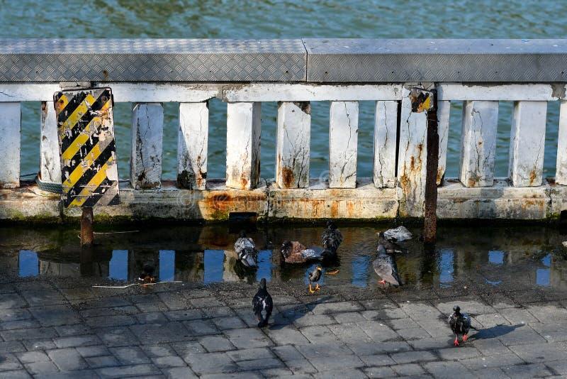 Piccioni che bagnano in acqua sporca immagini stock