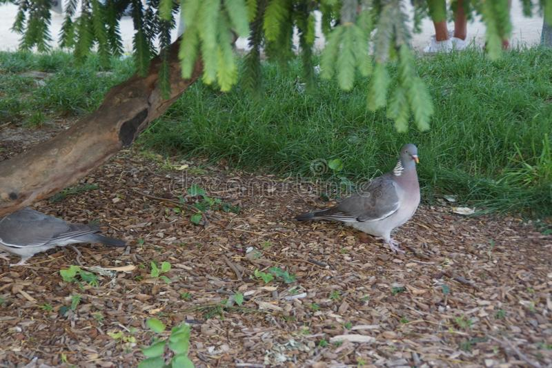 Piccioni che camminano sotto un albero - Francia fotografia stock libera da diritti