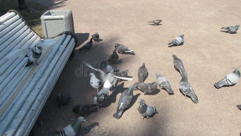Piccioni che si alimentano nel parco della citt? fotografia stock libera da diritti
